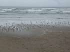 A flock of teeny tiny little birds. In all my trips to the Oregon Coast, I\'ve never seen any this small.